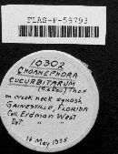 Choanephora cucurbitarum image