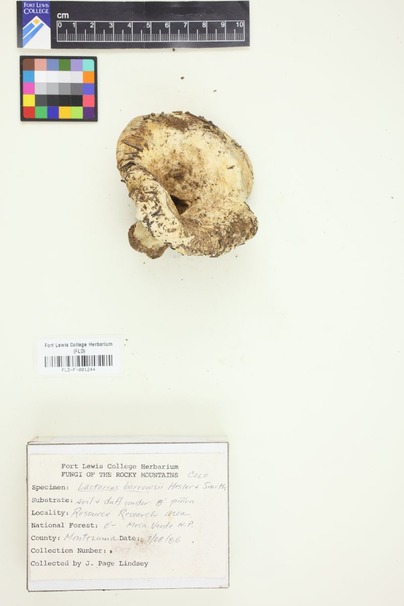 Lactarius barrowsii image