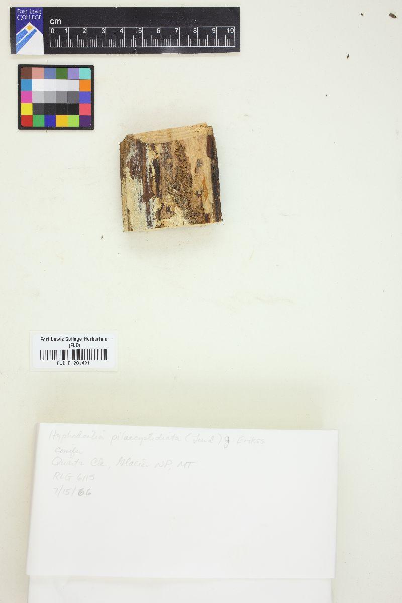 Hyphodontia pilaecystidiata image