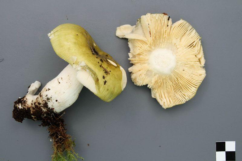 Russula citrinochlora image