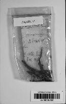 Ophiocordyceps sinensis image