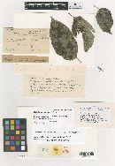 Image of Meliola umirayensis