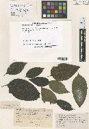 Image of Meliola varroniae