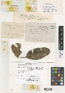 Image of Meliola sideroxyli