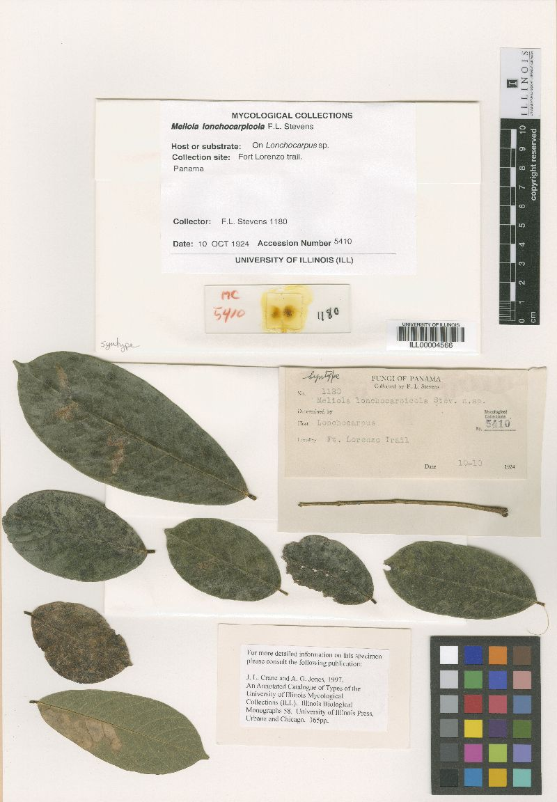 Meliola lonchocarpicola image
