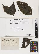 Mycosphaerella didymopanacis image