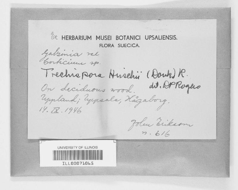 Trechispora hirschii image