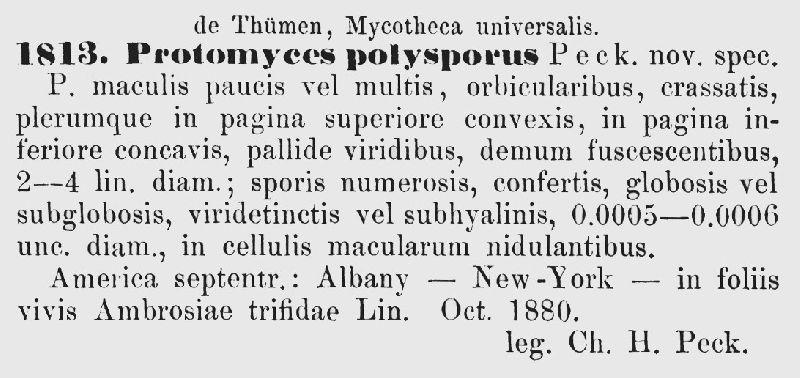 Protomyces polysporus image