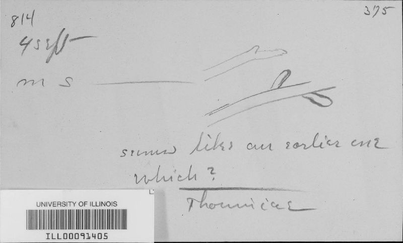 Meliola krugiodendri image
