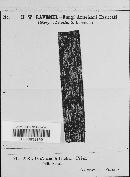 Meliola palmicola image