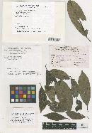 Image of Meliola mannavanensis