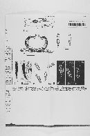 Leptosphaeria hispanica image