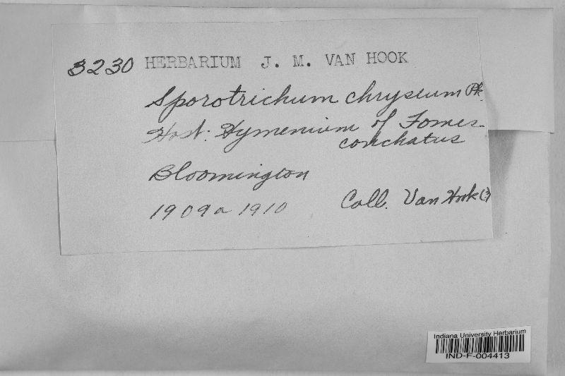 Sporotrichum chryseum image