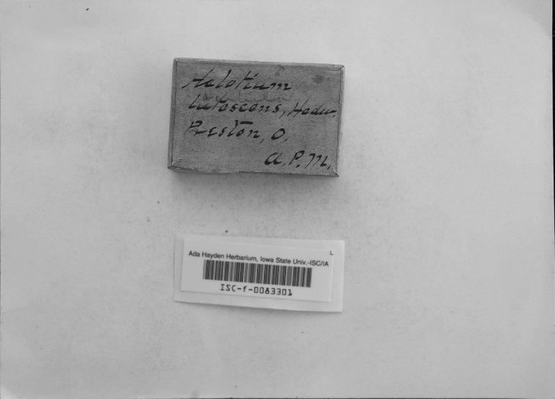 Hymenoscyphus lutescens image