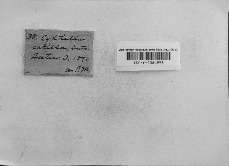 Leptoglossum galeatum image