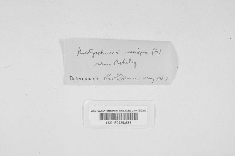 Kretzschmaria spinifera image