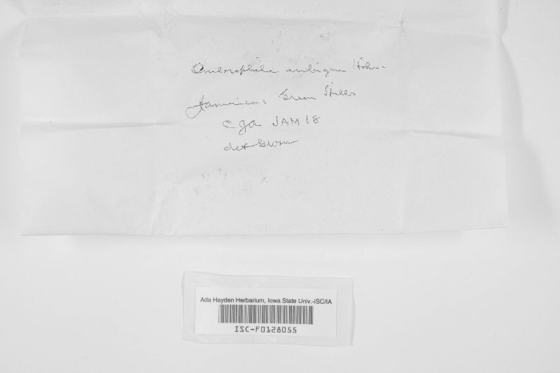 Ombrophila ambigua image