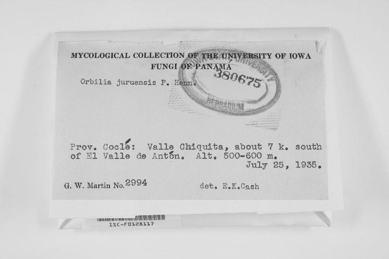 Orbilia juruensis image