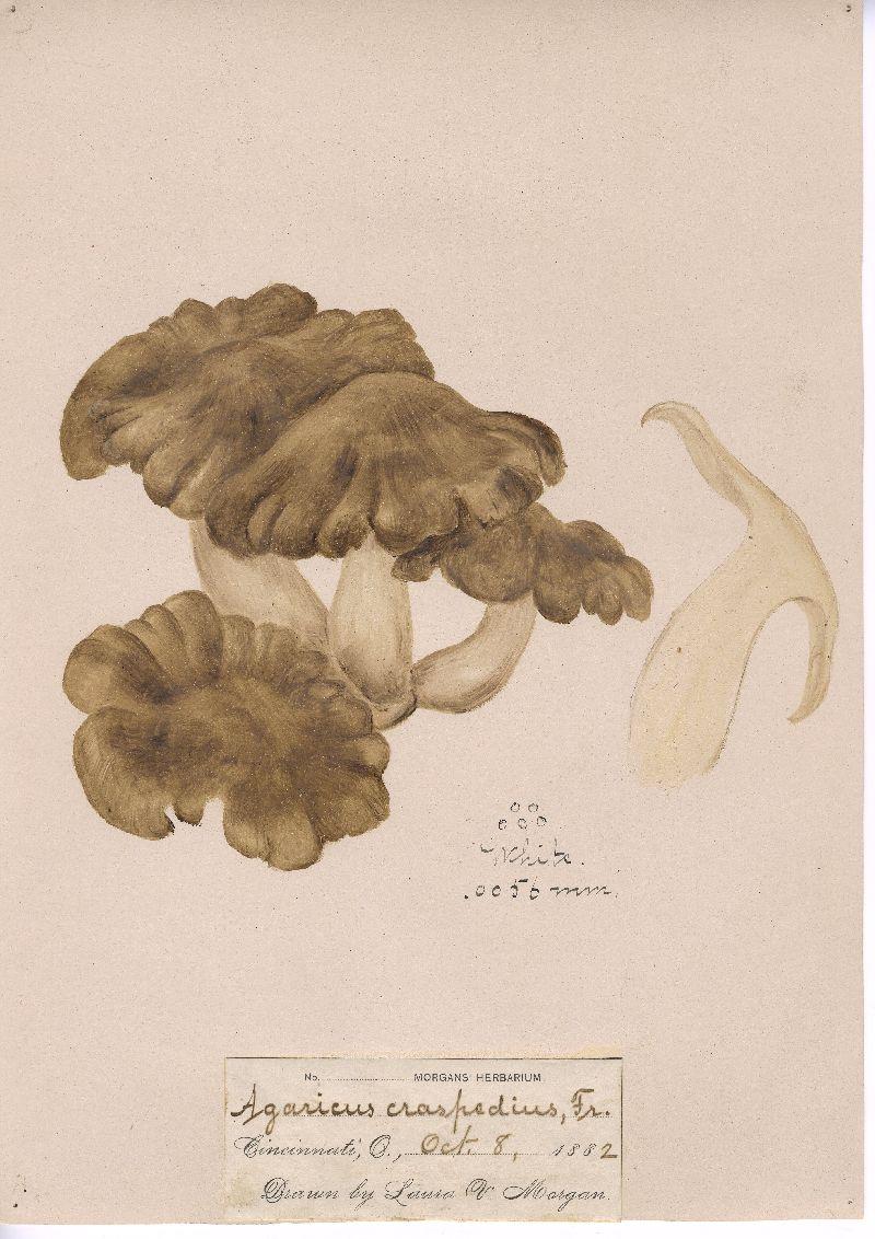 Pleurotus craspedius image