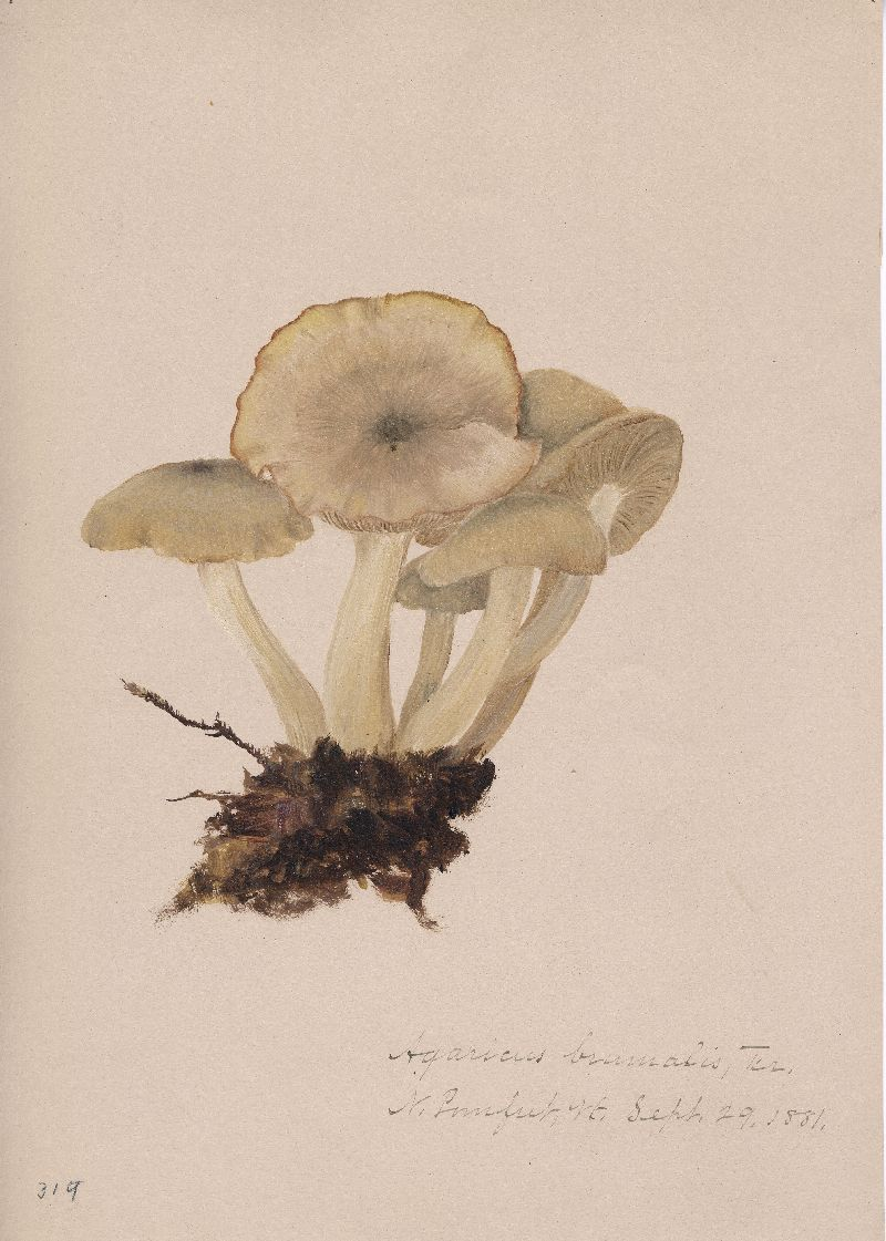 Agaricus brumalis image