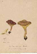 Paxillus flavidus image