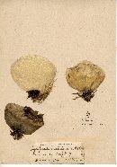 Lycoperdon velutinum image