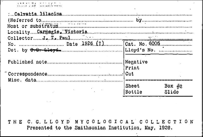 Calvatia lilacina image