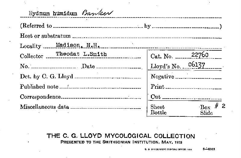 Hydnum humidum image