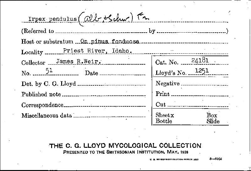 Irpicodon pendulus image
