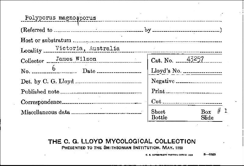 Polyporus grammocephalus image