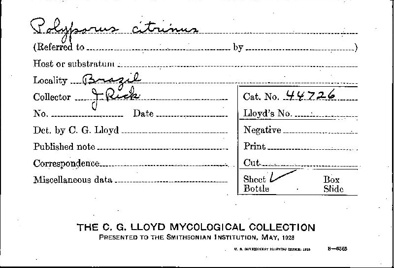 Polyporus citrinus image