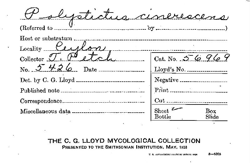 Polystictus cinerescens image