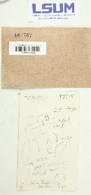 Sirobasidium brefeldianum image