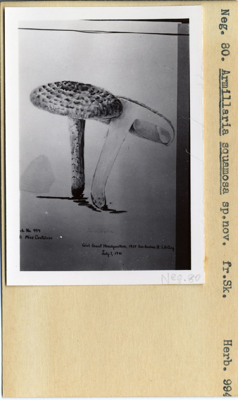 Amanita subcaligata image