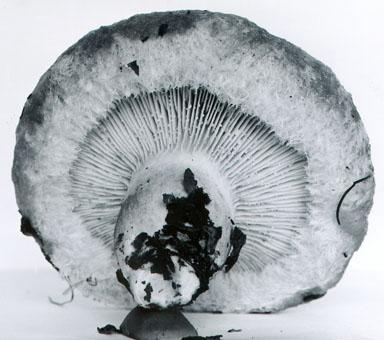 Lactarius nordmanensis image