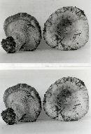 Lactarius payettensis image
