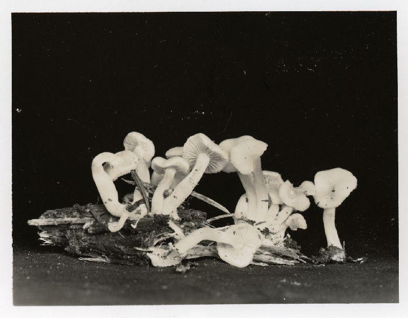 Pholiota pallida image