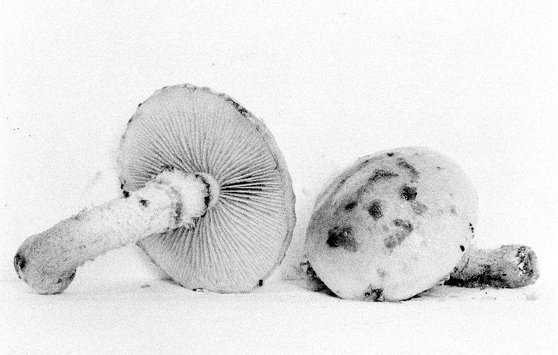 Pholiota hiemalis image