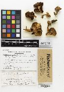 Psathyrella populorum image