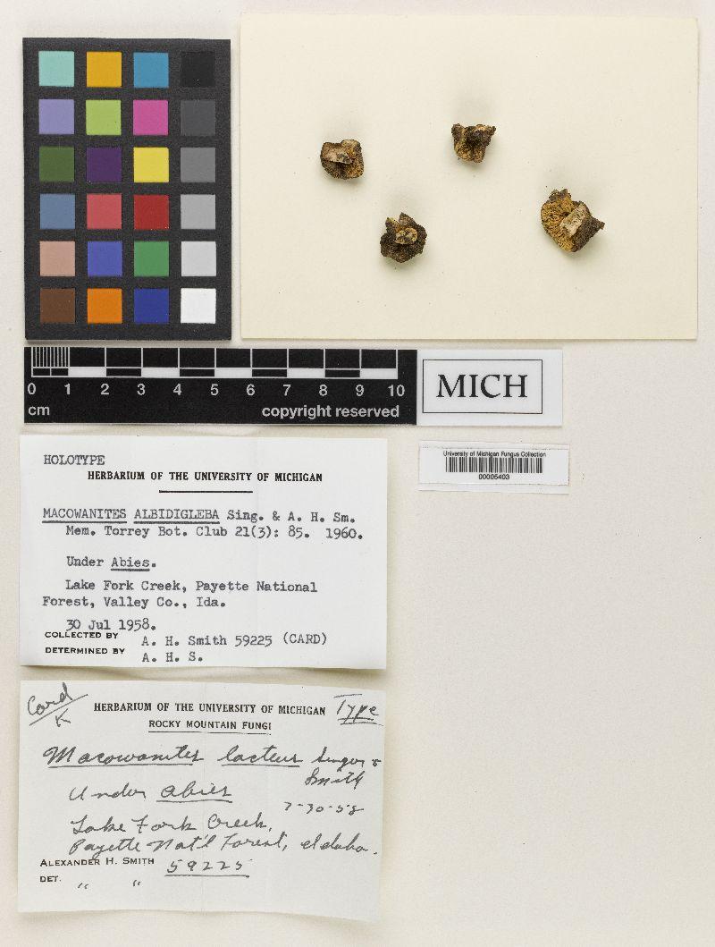 Macowanites albidigleba image