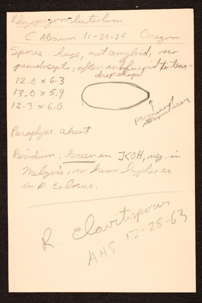 Rhizopogon clavitisporus image