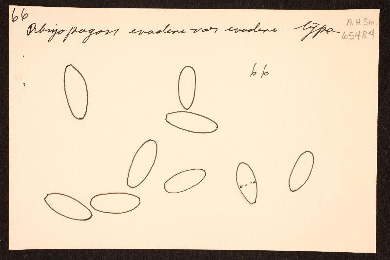 Rhizopogon evadens image