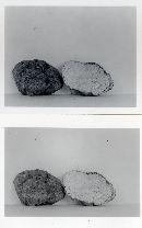Geopora cooperi image