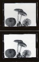 Leptonia decolorans image
