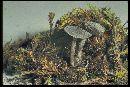 Entoloma rusticoides image