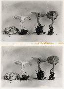 Clitocybe vermicularis image