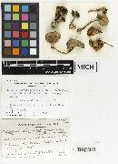 Collybia olivaceobrunnea image
