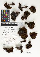 Cortinarius orichalceus var. olympianus image