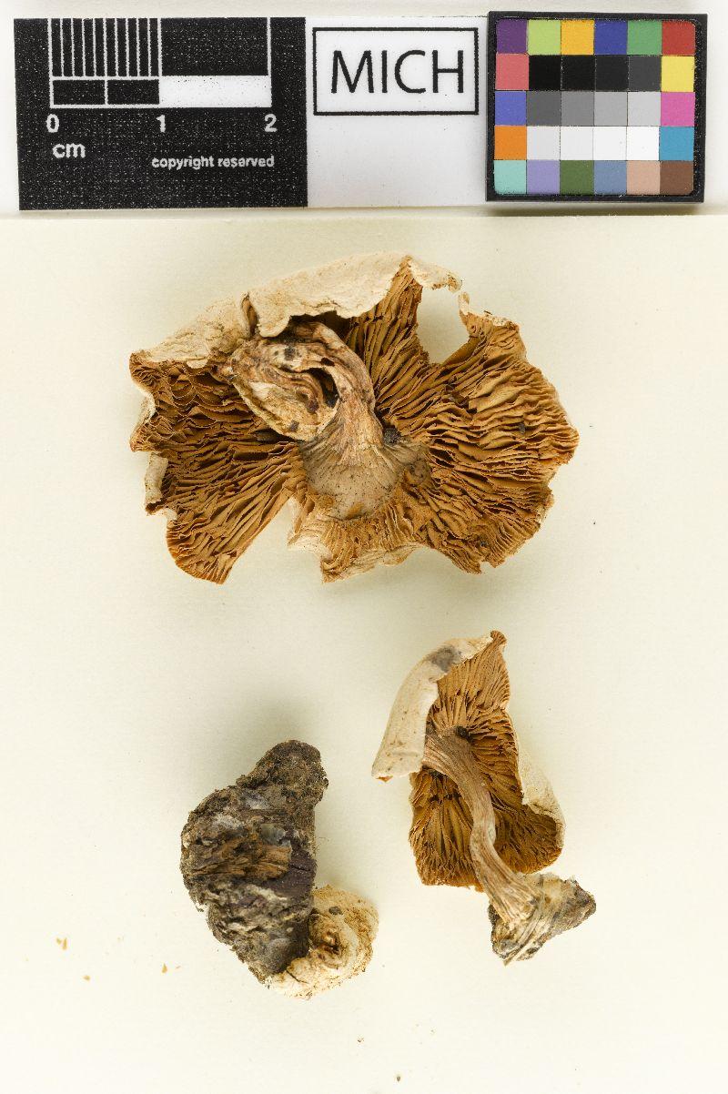 Cystoderma texensis image