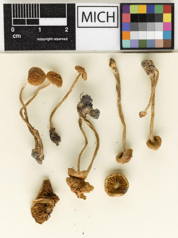 Hebeloma nigromaculatum image